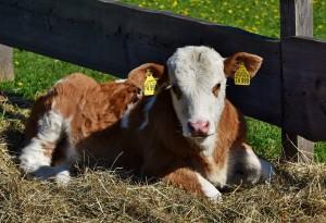 cow-3357534_960_720