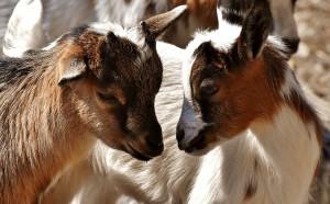 goat-3375168_960_720