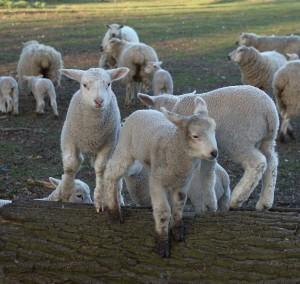 sheep-13289_960_720